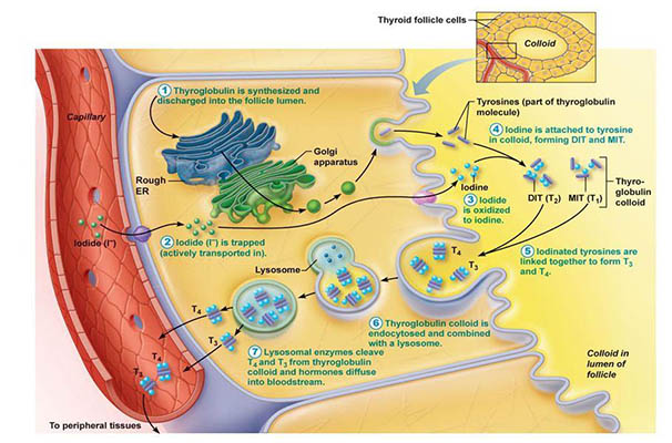 How thyroid hormones affect our psyche